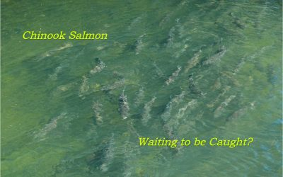 New Salmon Retention Quotas for Local Rivers